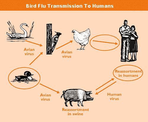 How to Treat Bird Flu