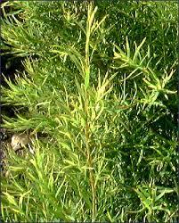 How to Use Tea Tree Oil to Treat Toenail Fungus?